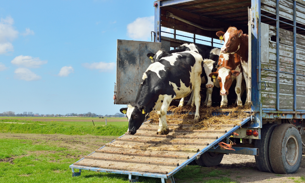 14 Boas práticas no transporte de bovinos