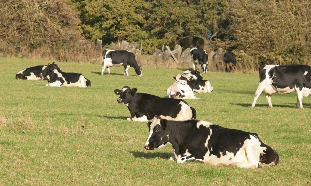 5 Passos para começar uma criação de gado de leite