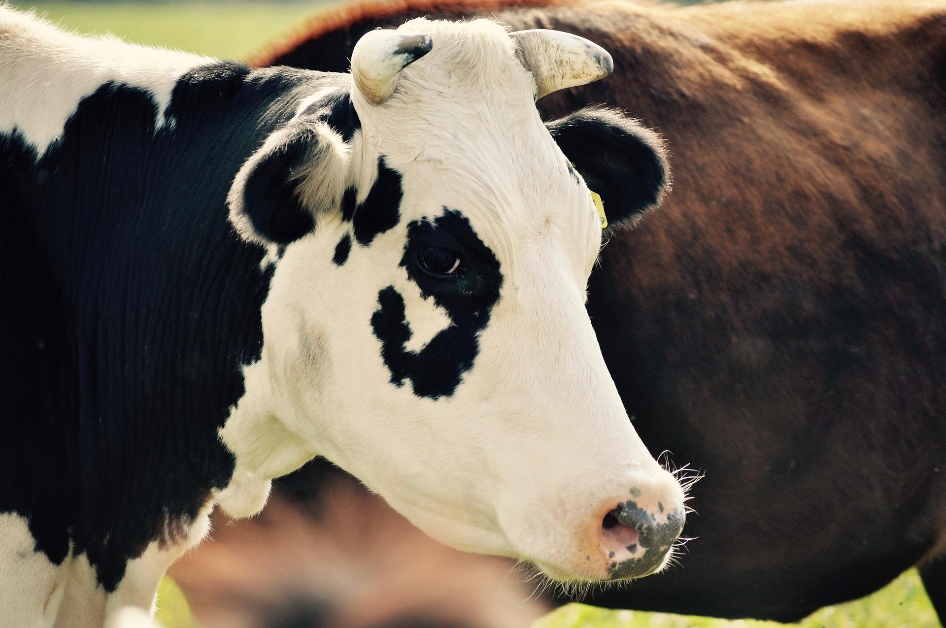 cuidados no gerenciamento do descarte de vacas.jpg