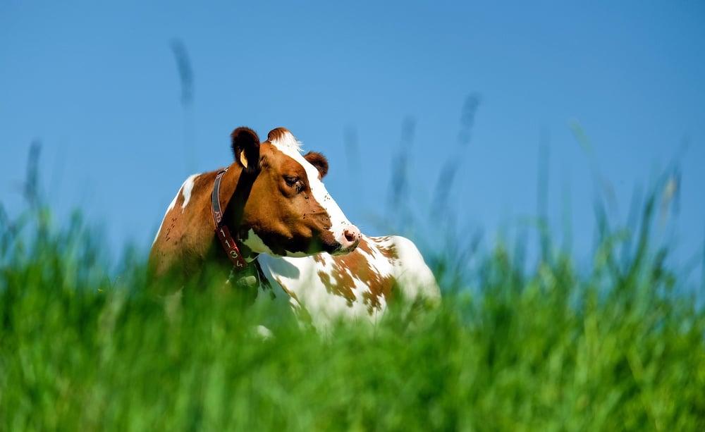 Tuberculose em bovinos: sintomas e prevenção